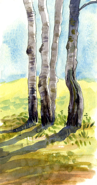 Birch trees in the sun